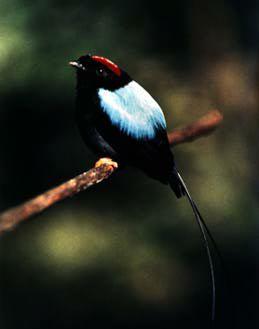 [:en]Bird Long-tailed Manakin[:es]Ave Saltarín Toledo[:]